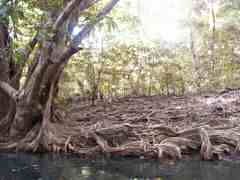 Tangled roots along Indian River
