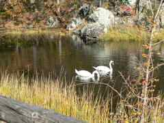 Swans foraging for food in pond next to bike path