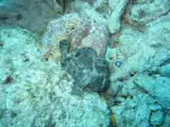 Frogfish revealed