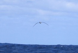 Albatross glides effortlessly