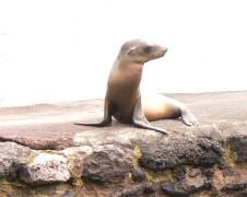Baby sea lion waiting for Mom