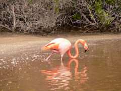 Greater Flamingo on the prowl for grub