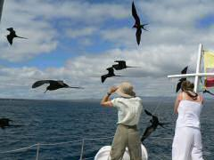 Frigate birds flocking around tour boat, hoping for a handout