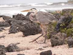 Great Blue Heron is majestic as it gracefully travels along the shore