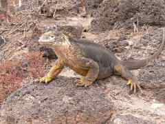 Land iguana smack in the middle of the trail