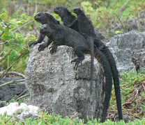 Marine Iguanas huddling for warmth as the afternoon temperatures fall