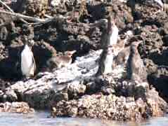 Galapagos Penquins perched on rocks bordering the anchorage