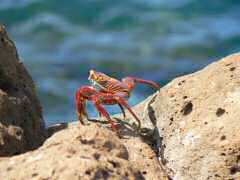 Colorful Sally Lightfoot Crab