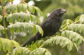 Smooth-billed Ani was introduced to control cattle ticks