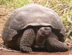 Close up of Galapagos tortoise