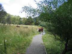 Sharing path with cow