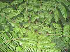 fan-like fern