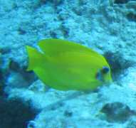 Mimic surgeonfish youngster