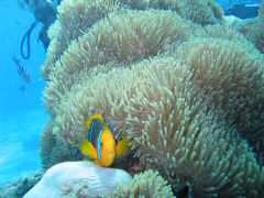 Anemonefish peaking out from the anemone