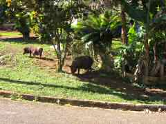 Pigs foraging in the front yard