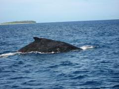 Telltale fin of the humpback whale