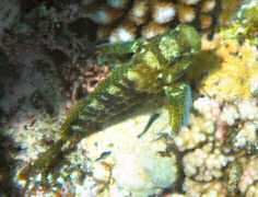 Possibly a Jeweled Blenny