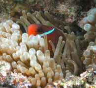Red and black anemone fish