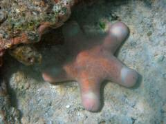 "We think we'll name this one the ""Teddy Bear"" starfish.  It's really a starfish!"