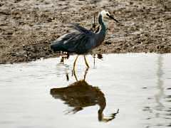 White-faced heron stalking in the mud flats