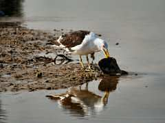 Gull with flounder snack